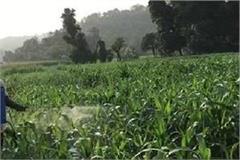 pesticides poisoning now dissolves in makki
