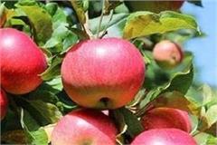 2700 rupees per box retail royal apple