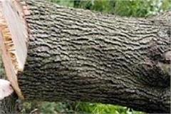 cut the fir trees