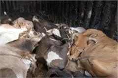 go seva dal reached the mini secretariat with dead animals in jind