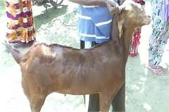 this goat was subject of discussion in this village of up