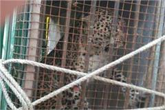 in 1 month in bahraich terror was spread leopard trapped in the cage