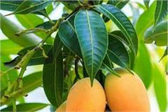 health benefits of mango leaf