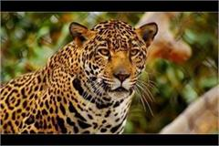 if tiger leopard looks call on toll free number it will come soon
