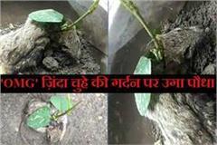 plant on rat body in ratlam mp