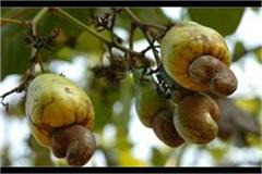 betul soon to become cashew production district