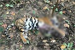 tiger found dead in kanha tiger reserve
