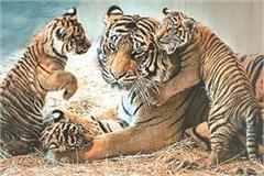 born in the panna tiger reserve three tigers were born to the tigress