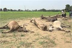 three cows died due to lightning falling sought help from the government