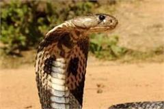 indaura snake bite migrant death