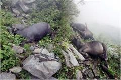 5 buffaloes died due to debris of hill