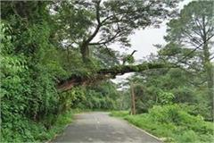 75 percent bowed tree is inviting the accident on the road