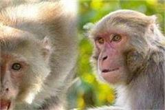 these monkeys attacked the woman of baloh village