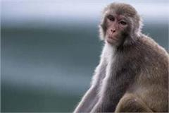honorarium will increase if sterilized monkeys catch again