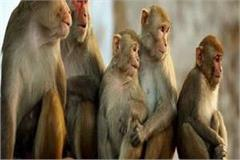 when the movement of people stops the monkeys are starving haryana news