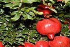 pomegranate crop in kullu