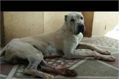 pakistani breed dog attack in child
