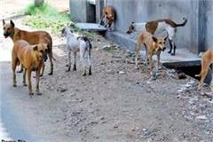 terror of stray dogs in sujanpur 10 people reached hospital