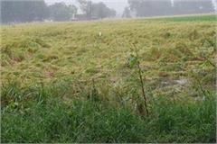 paddy cotton and bajra crop affected due to heavy raining