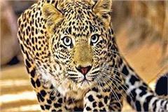 leopard in saharanpur