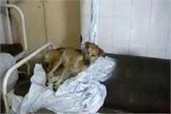 dogs in place of patients on beds of this hospital in up