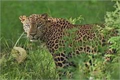 leopard attacked the youth an atmosphere of panic among villagers