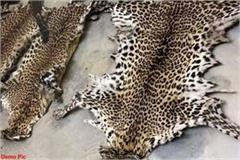 smuggler arrested with 2 leopard skins the price is in millions