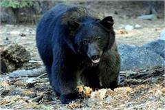 bear attack on woman son saved like this