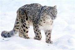 snow leopard seen at an altitude of 4000 meters