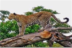 leopard strikes in people of village falai