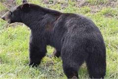 chamba bear person assault injured