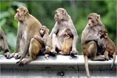 forest department will give 500 rupees prize to kill the monkey