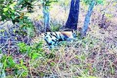 madhya pradesh 7 accused arrest poison tigress sanjay tiger reserve