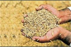 haryana over 58 08 lakh metric tonnes of paddy arrivals