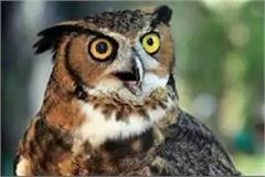 dangers hover over owls in deepawali