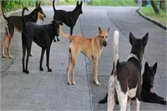 stray dogs cause panic in the city it is difficult for the common man to live