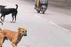 stray dogs became a day and night in shimla