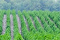 despite the ban being in kullu cannabis cultivation