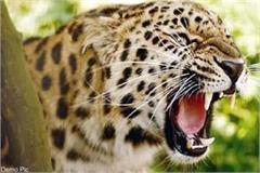 leopard attack on cattles