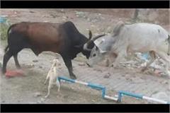 bull fighting common in faridabad