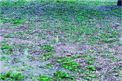 hail ravaged crops crops damaged in more than half a dozen villages