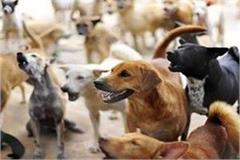 terror of stray dogs in amroha killing 8 year old innocently