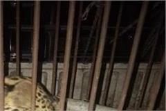 people breathed a sigh of relief from leopard panic in rohru