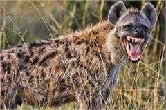 environmental problem increased due to reduced number of hyena