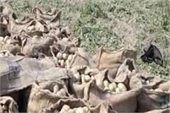 potato yield in una