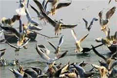 gulzar sangam beach once again from siberian birds  habitat
