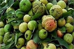 allahabad guava crop has been hit by pollution sweetness has decreased