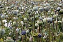 farmers forcibly begin opium cultivation without permission video goes viral