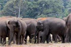 villagers in panic with wild elephants in narsinghpur