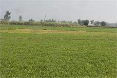 wheat crop does not yellow only due to lack of fertilizers